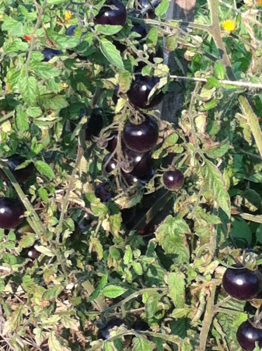 There are even black tomatoes