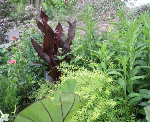 The black foliage of the Canna makes it stand out