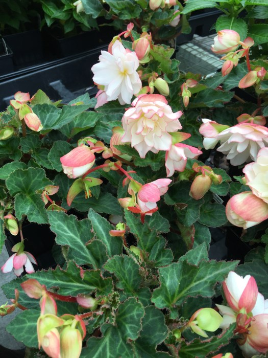 Begonia 'Unbelievable Miss Montreal'