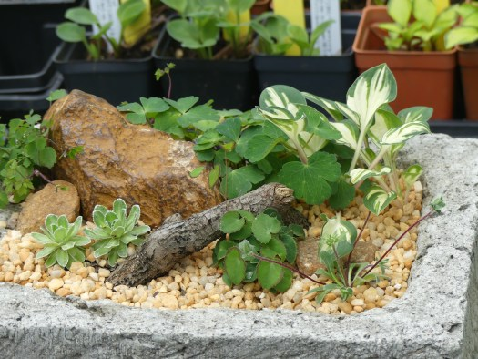 Its A Small Small World Mini Hostas The Garden Diaries