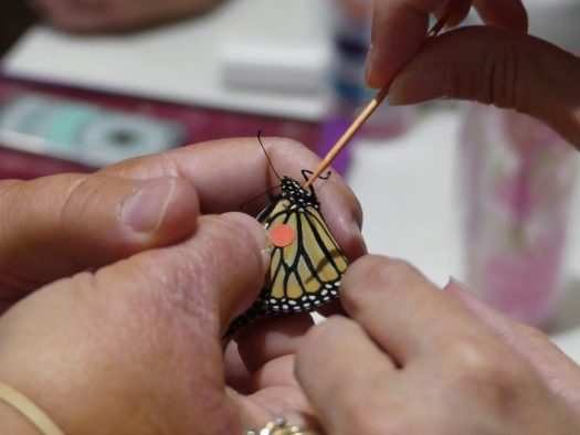 Practicing tagging Monarchs