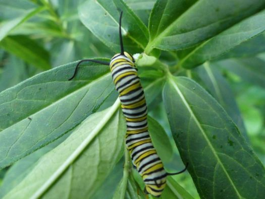 Caterpillars are easy to spot with their big bold stripes: the eggs are much harder to spot