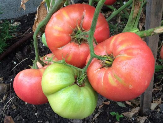 I want my tomatoes to look like this, nice and ripe