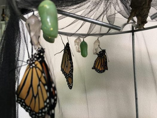 Three Monarchs who just emerged and will be released