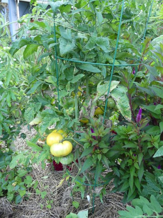 I kept a good straw mulch on the ground on my tomatoes; This one is Dwarf Mr Snow which produced like gangbusters
