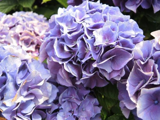 Wait until hydrangea blooms turn leathery to the touch and then put them into a vase of water and keep there until all the water is gone