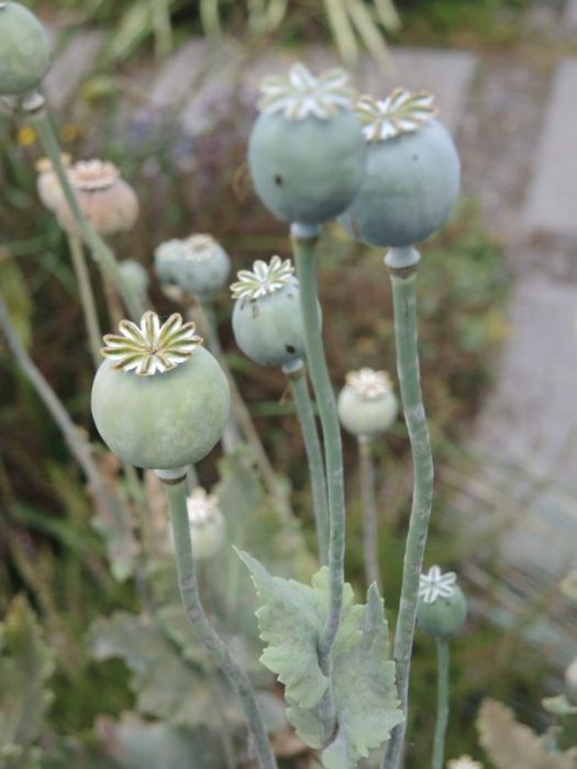 Poppy seed heads dry nicely