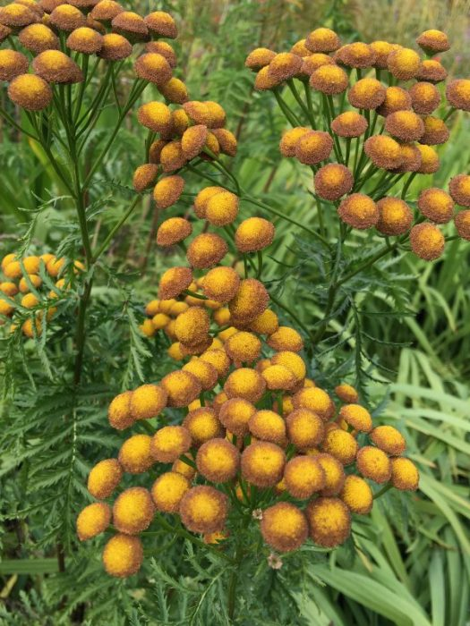 Tansy flowers are button like orbs that have brown edges as they age