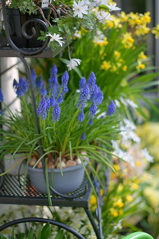 Muscari or Grape Hyacinths are easy in containers