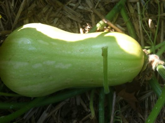 An immature butternut is still green; when ripe, the skin turns a golden brown and hard to pierce with your fingernail