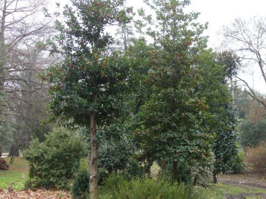 The nine acres of the nursery are widely planted with evergreen and deciduous hollies and magnolias