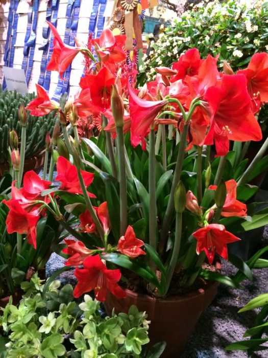 This container has a very old Amaryllis that keeps on getting larger and larger every year