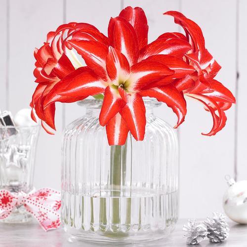 amaryllis-as-cut-flower-longfield