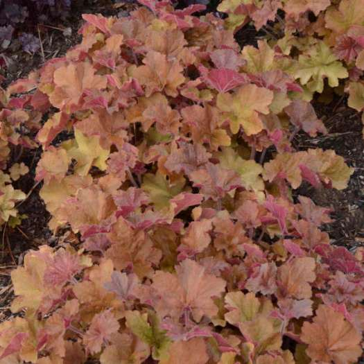 'Caramel' Heuchera is a villosa hybrid which performs like gangbusters for me