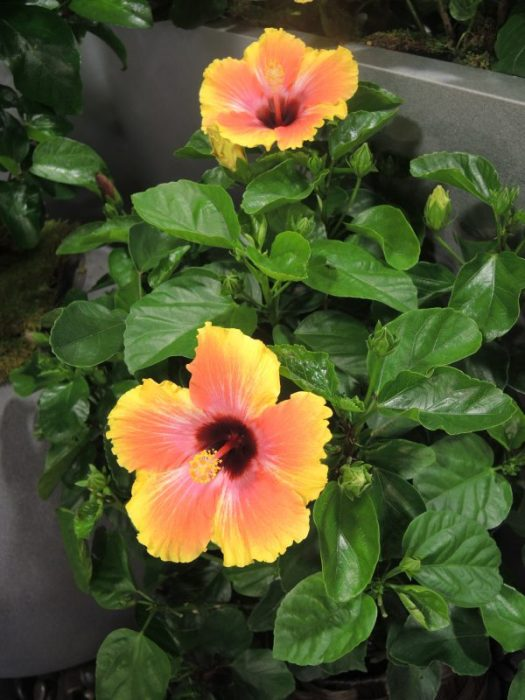 Dwarf Hibiscus with full size flowers