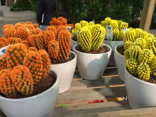 Cactus are trendy;unfortunately these have been dyed