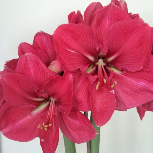 'Red Lion' Amaryllis is a common Christmas gift