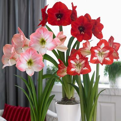 Red Lion, Apple Blossom, and Minerva- a great trip of Amaryllis from Longfield Gardens