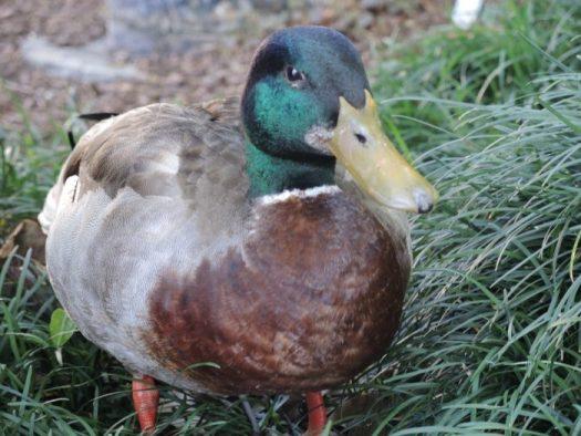 Ducks count too!
