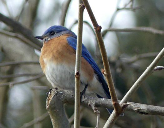 Blue bird perching in my Sycamore tree observing my bird feeder