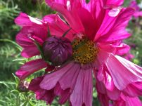 Cosmos at Falkland Place in Scotland