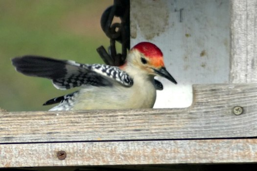 Red headed woodpecker in my bird feeder