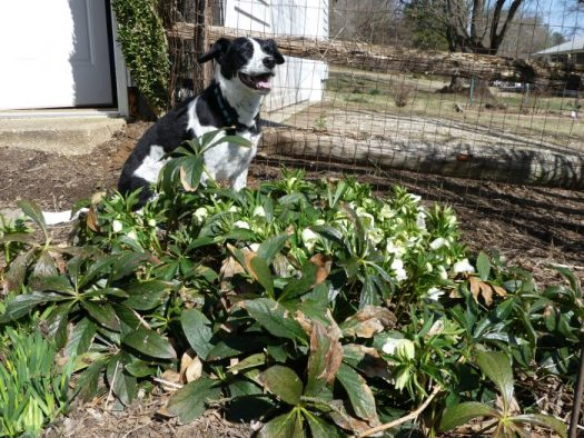 A large clump of Hellebores in late February that needs to be trimmed