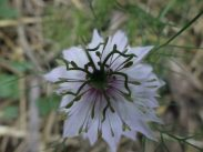 Love in the Mist or Nigella has unusual flowers and pods