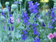 Purple larkspur makes a fine foil for pink poppies