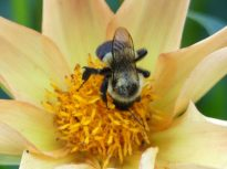 Bees love the single type of dahlias because they can easily get to the nectar and pollen