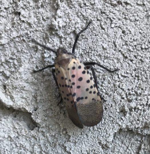 Lantern Fly is a moth