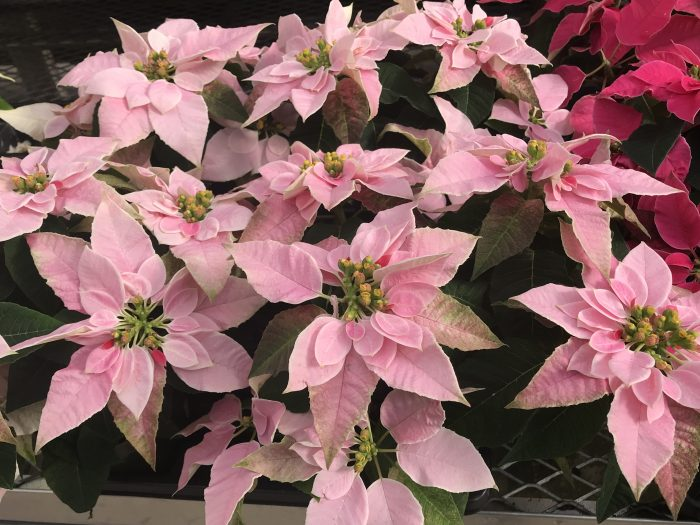 Princettia Poinsettias branch more and produce more flowers