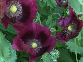 "Poppies, here it is ""Lauren's Grape"", do best direct seeded in the garden"