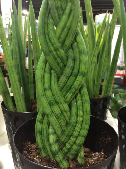 Woven Sanseveria makes a cool plant