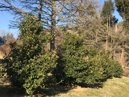 American Holly 'Satyr Hill' forming a screen