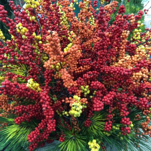 Winterberry hollies come in a rainbow of colors