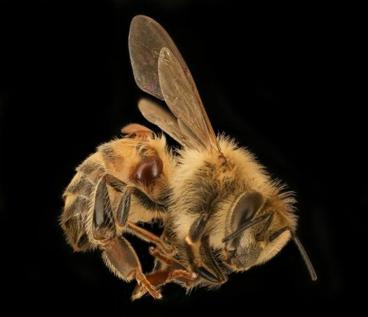 Varroa Mite destructor is like a tiny tick on the bee that sucks its blood