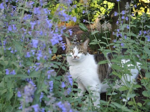 Nepeta or Catmint will attract cats