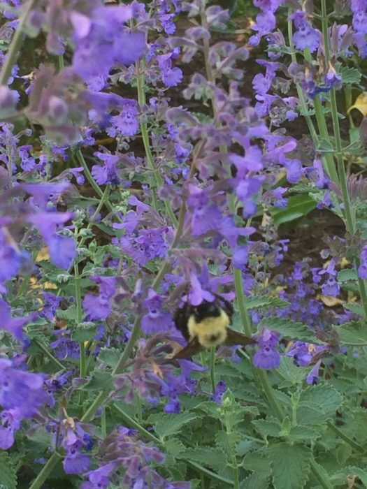 When Catmint blooms, the bees flock to it