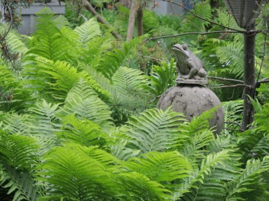 Ostrich Fern forms a dramatic ground cover