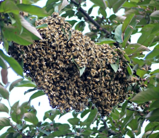 Large cluster of bees looking for a new home