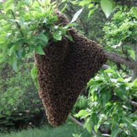 Swarming of the Bees - It is That Time of Year Again!