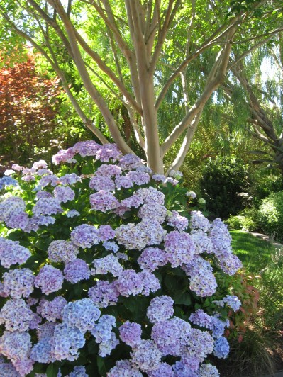 Front entrance hydrangea with crepe myrtle