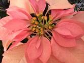 Peach Poinsettia