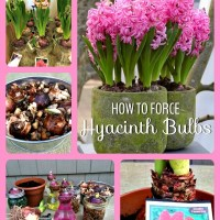 Bulbs in Pots-Portable Containers for Spring