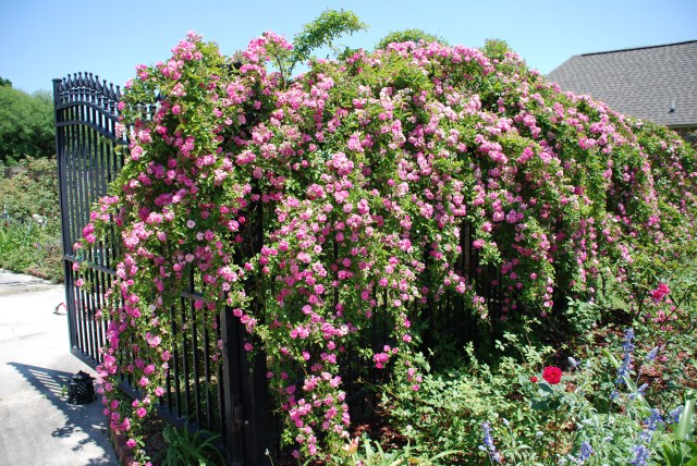 This is a picture of the Peggy Martin Rose that now grows in Peggy Martin's new rose garden....