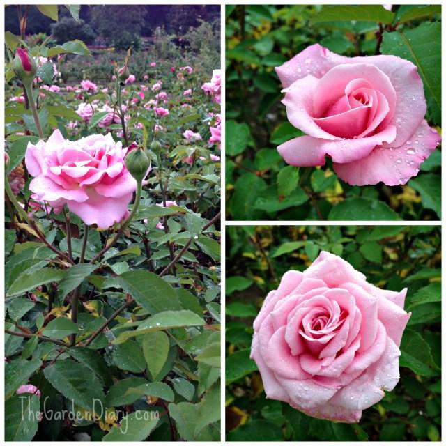 Belinda's Dream in the Biltmore Rose Garden...