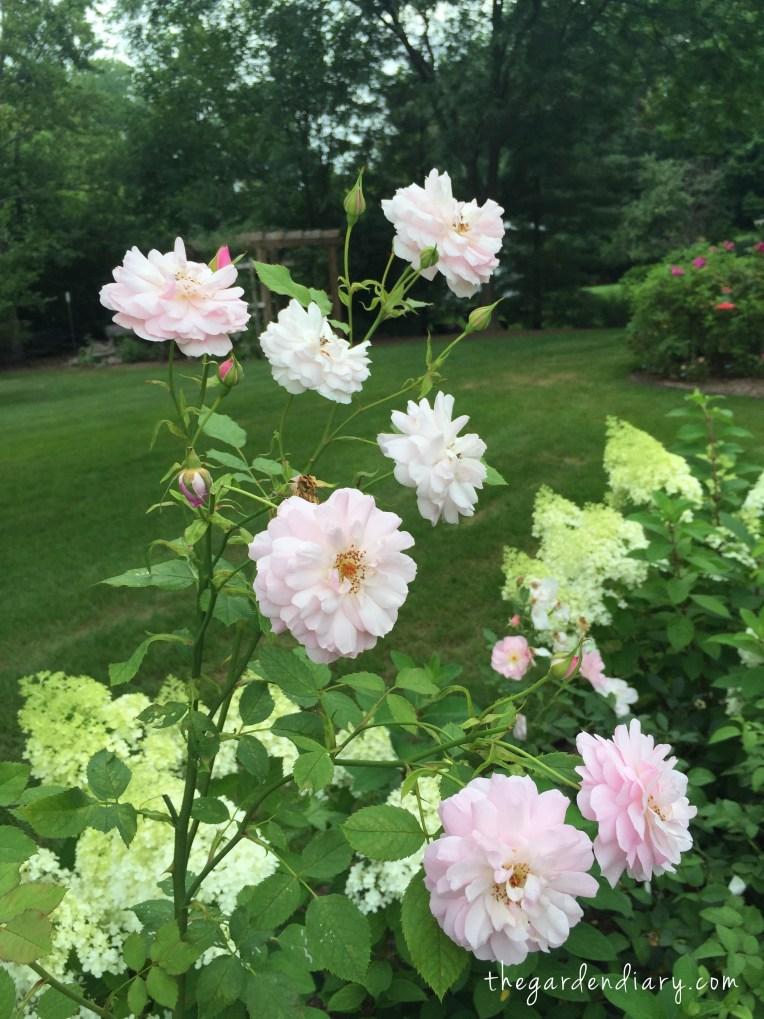 Lady Salisbury (David Austin) Looks delicate but it one tough rose!