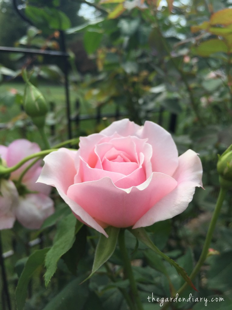 Quietness - a stunning, fragrant Buck rose. Available at https://www.chambleeroses.com/.