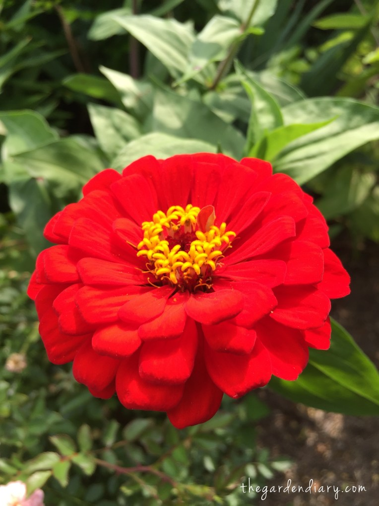 Zinnias are fabulous in the fall!